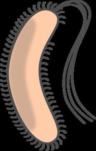 Bacteria With Flagellum Clip Art at Clker.com.