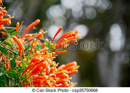 Stock Image of Orange trumpet, Flame flower, Fire.