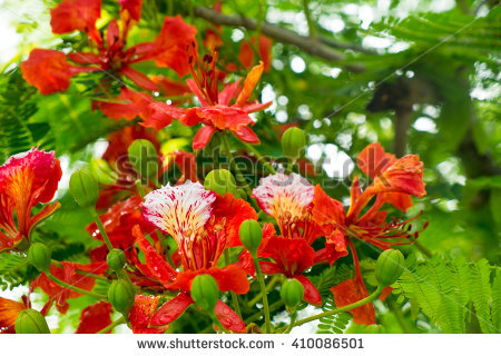 Free Panicle royal poinciana tree (delonix regia) and flame tree.