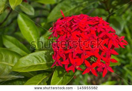 Red Javanese Ixora Jungle Flame Flower Stock Photo 30603220.