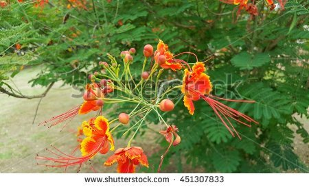 Panicle Royal Poinciana Tree Delonix Regia Stock Photo 451307833.