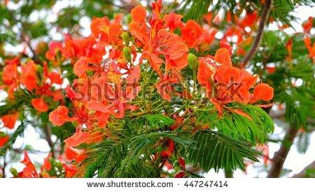 Delonix Poinciana Regia Royal Tree Stock Photos, Royalty.