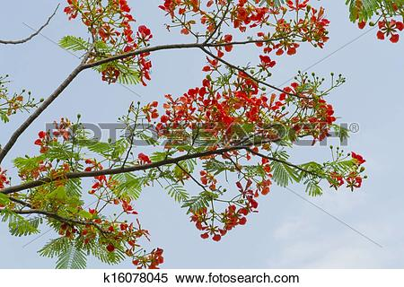 Stock Image of Flame tree flower k16078045.