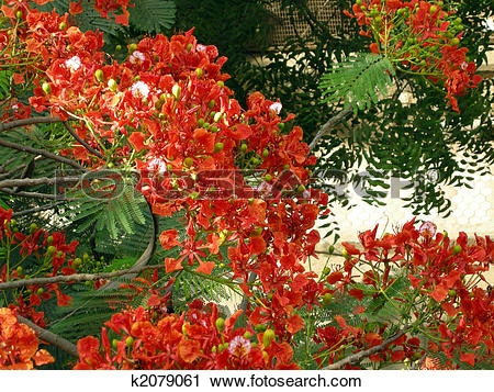 Stock Photography of Flamboyant Flame Tree.
