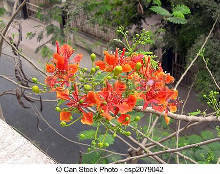 Stock Photo of Flamboyant Flame Tree.