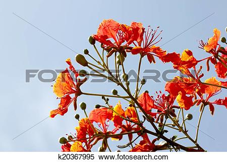 Stock Image of Flame Tree Flower. k20367995.