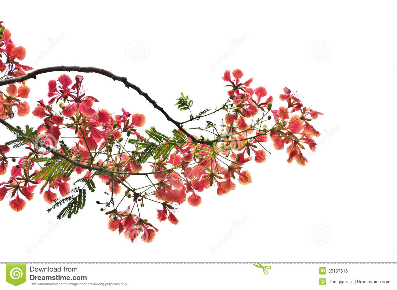 Flame Tree Royalty Free Stock Photography.