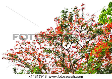 Stock Photo of Flame Tree or Royal Poinciana Tree k14317943.