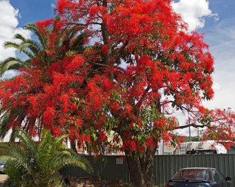 Flame tree.