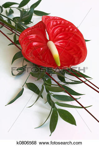 Pictures of Red Anthurium flower,flamingo flower k0806568.