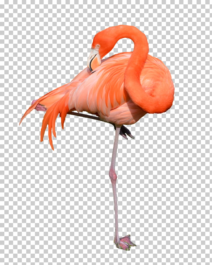Flamingo , flamingo PNG clipart.