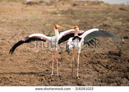 Birds Squabbling Stock Photos, Royalty.