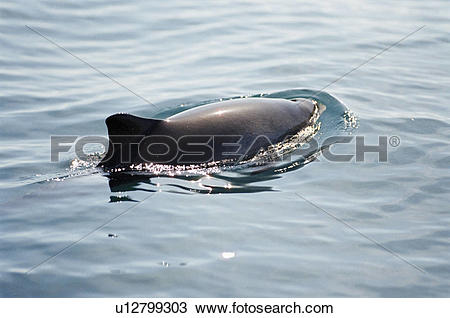 Stock Photo of Harbour porpoise (Phocoena phocoena) showing.