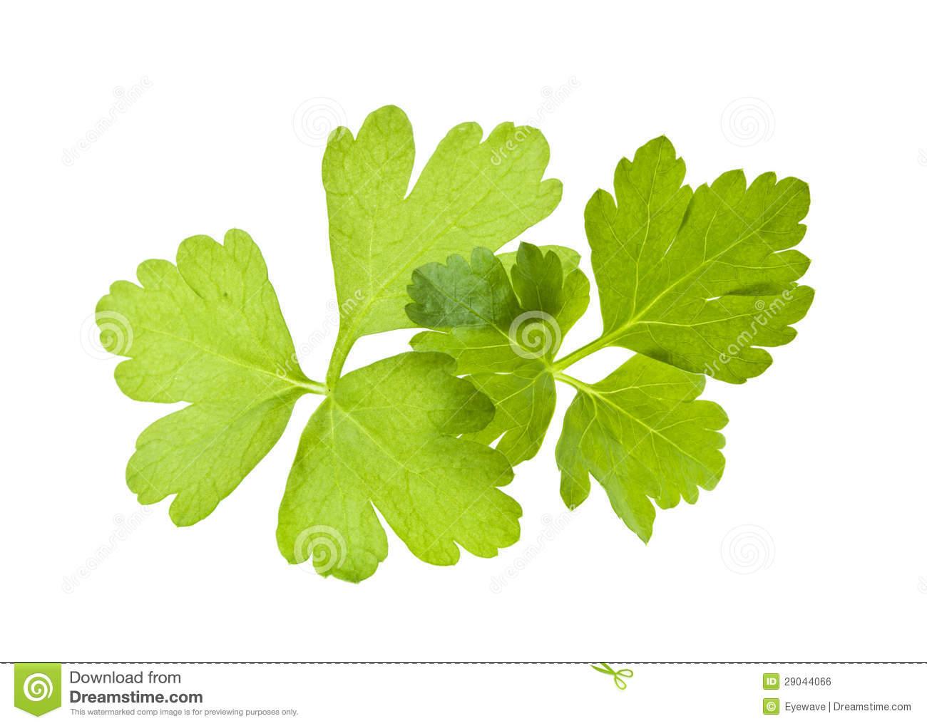 Italian Flat Leaf Parsley Royalty Free Stock Image.