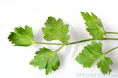 Flat Leaf Italian Parsley Herb Stock Photos, Images, & Pictures.