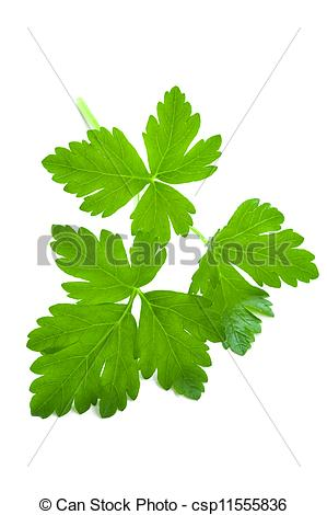 Stock Photos of flat leaf parsley close up isolated on white.