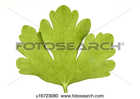 Stock Photography of Flat Leaf parsley u16723080.