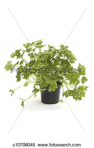 Stock Image of Flat leaf parsley in a pot u10708045.