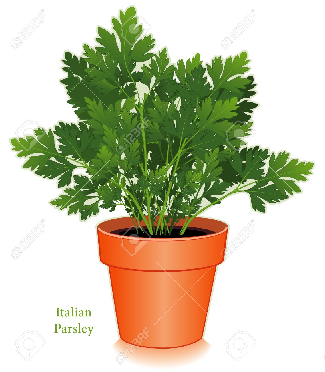 Italian Or Flat Leaf Parsley Royalty Free Cliparts, Vectors, And.