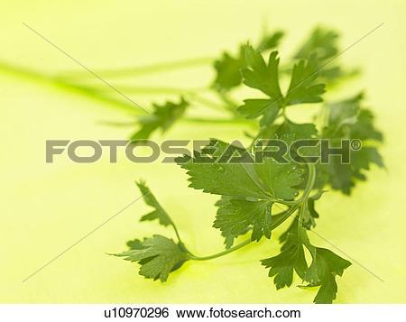 Stock Images of Flat Leaf Parsley u10970296.