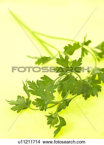 Stock Photo of Flat Leaf Parsley u11211714.