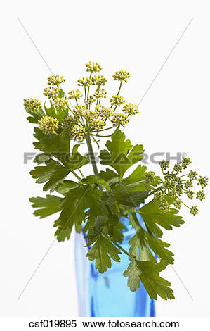 Stock Image of Flat leaf parsley (Petroselinum crispum) and.