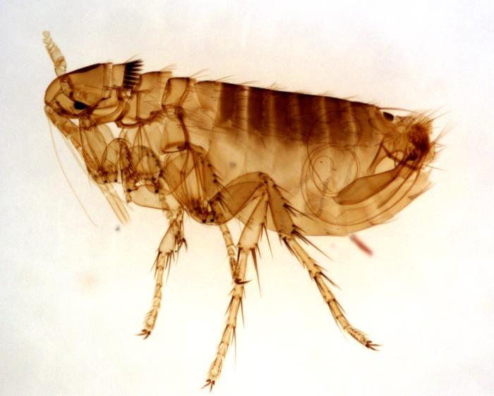 Hardin MD : Flea Bite Pictures.