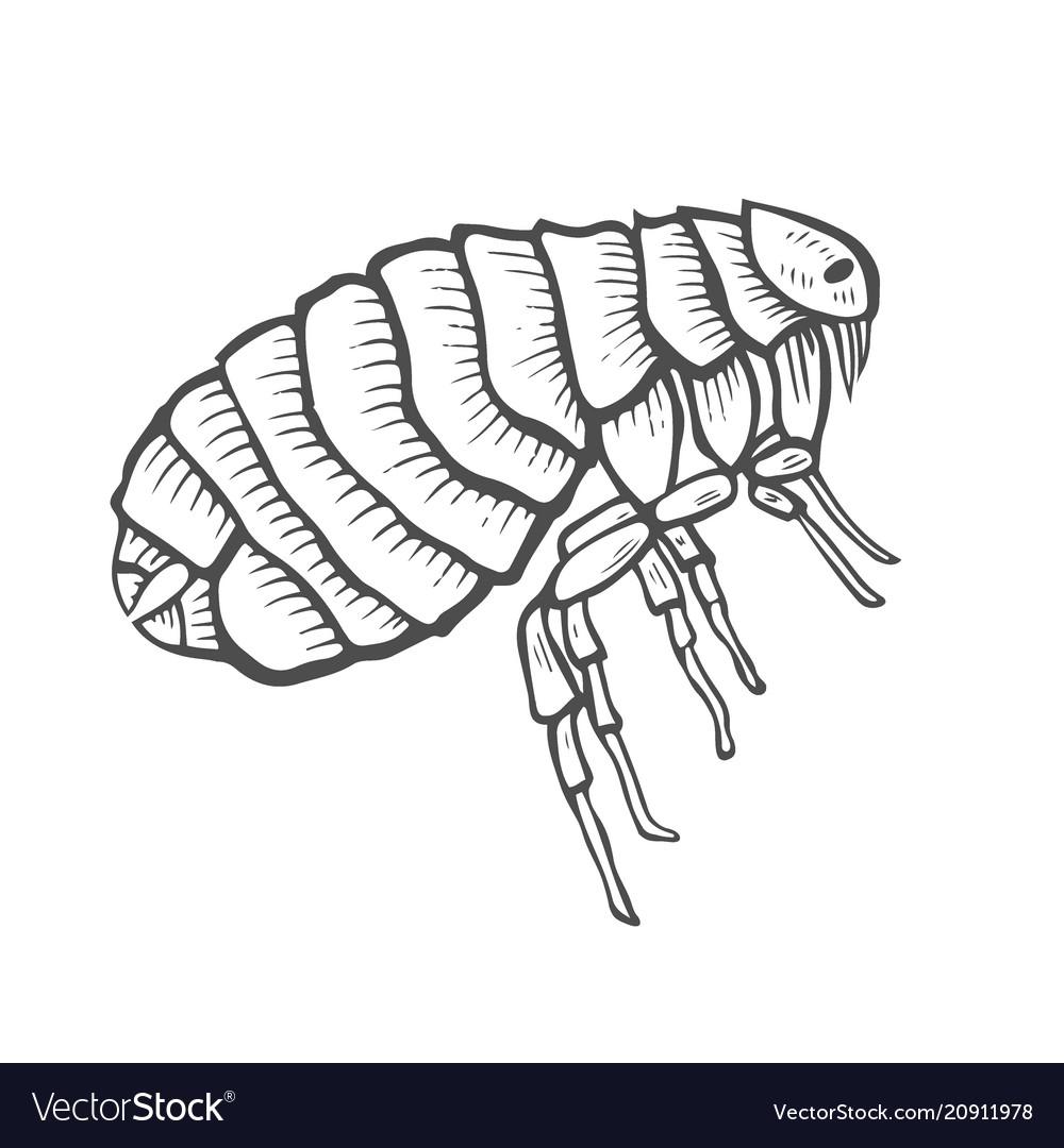 Flea insect parasite.