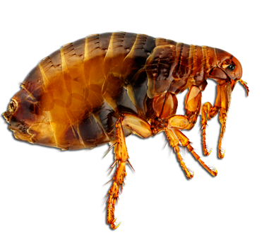 Download Free png Flea PNG, Download PNG image with transparent.