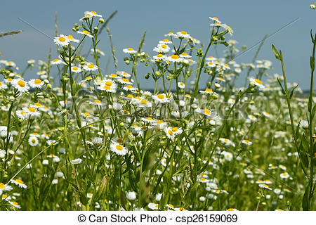 Stock Image of Flowering fleabane plants on meadow.