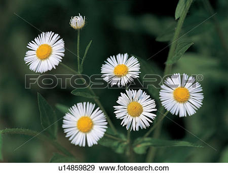 Stock Photograph of blossom, flower, bloom, flowers, plants.