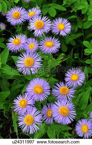 Picture of flowers nature beauty bunch wild fleabane u24311997.