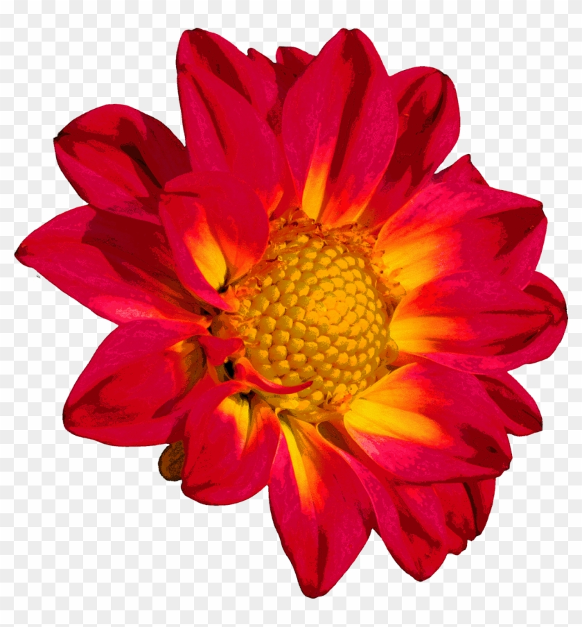 Dahlia Blossom Bloom Flower Png Image.