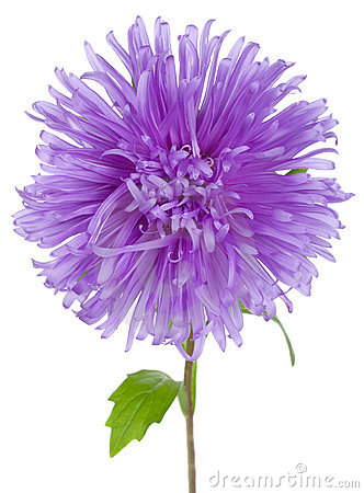 Violet Aster Royalty Free Stock Image.