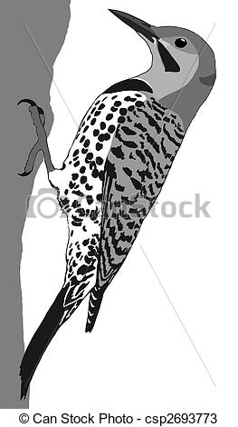 Drawings of Northern Flicker.