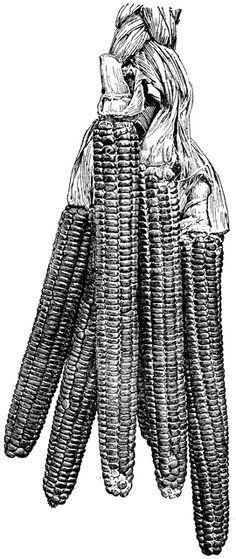 Flint corn.
