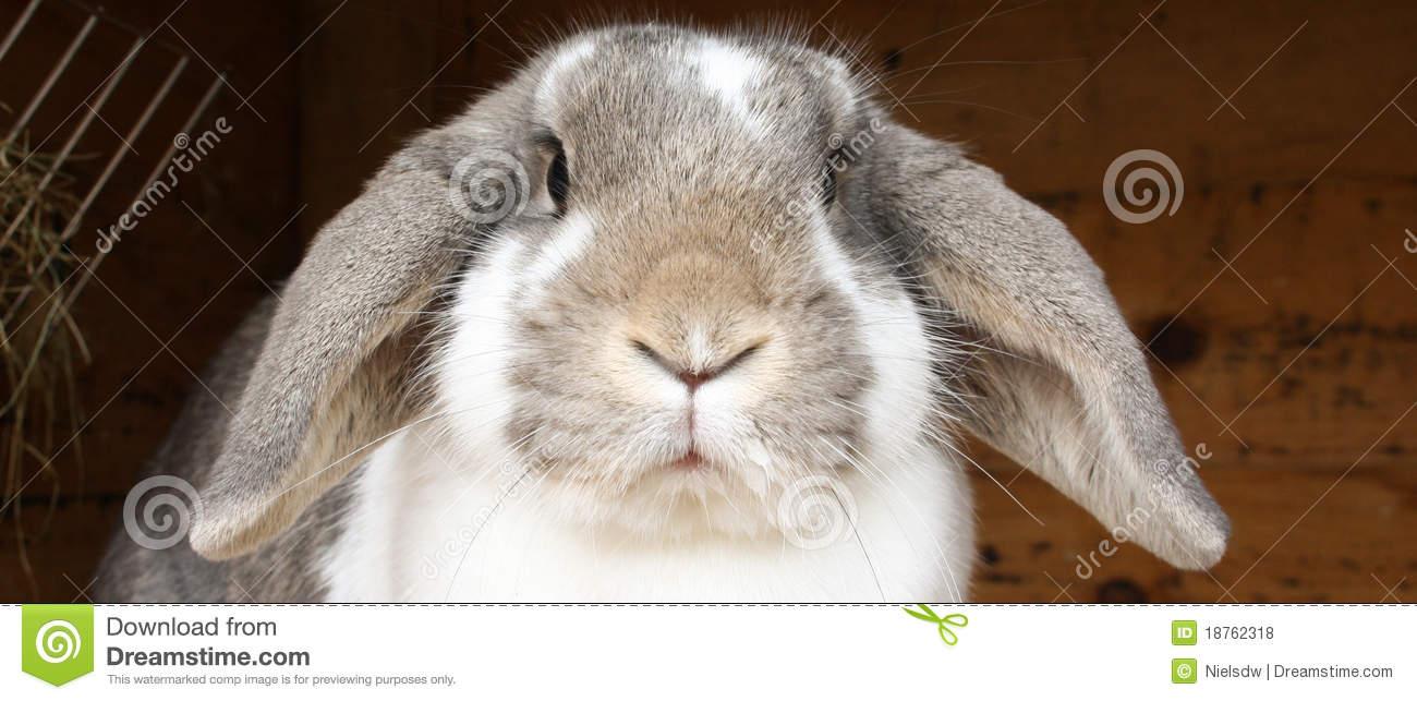 Rabbit With Floppy Ears Royalty Free Stock Photos.