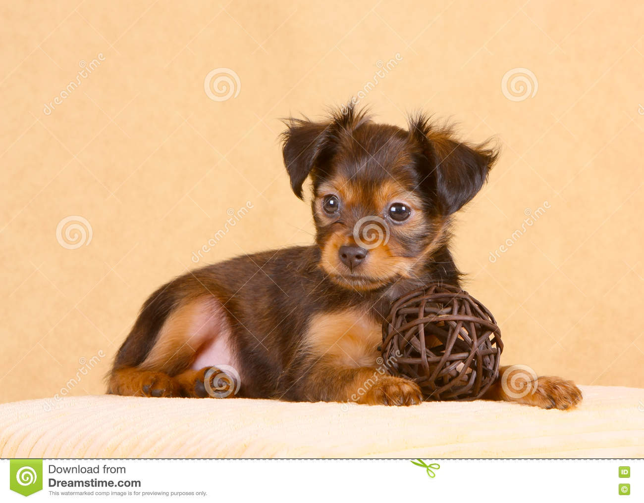 Red Puppy Lying On The Pillow. Dog With Floppy Ears. Stock Photo.
