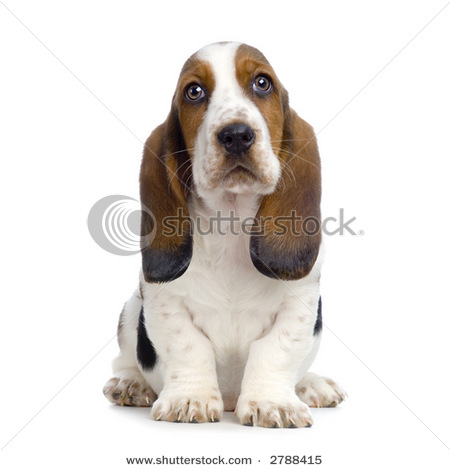 of a Cute and Sad Looking Basset Hound Puppy with Floppy Ears.