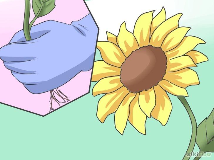 Cómo sembrar semillas de girasol: 16 pasos (con fotos).