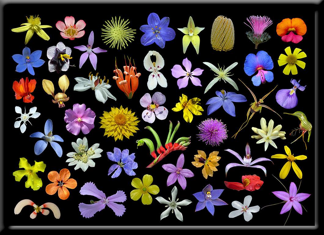 Wildflowers of Western Australia.