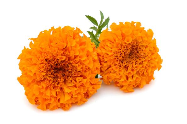 Flores Dia De Muertos Png Vector, Clipart, PSD.