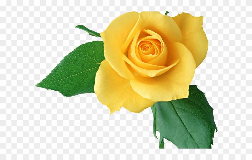 Yellow Rose Clipart Light Yellow.