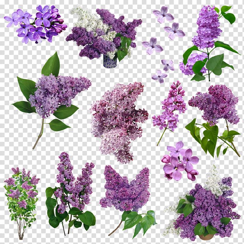 Flores Lilas, purple flower lot transparent background PNG.
