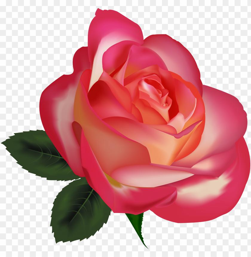 beautiful rose png clipart image.