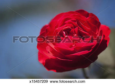Stock Photograph of Floribunda Rose 'Rosemary Rose' x15457209.