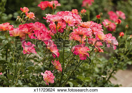 Stock Photo of Floribunda Rose Betty Boop in Full Bloom x11723624.
