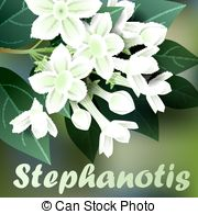 Stephanotis floribunda Clipart Vector Graphics. 4 Stephanotis.