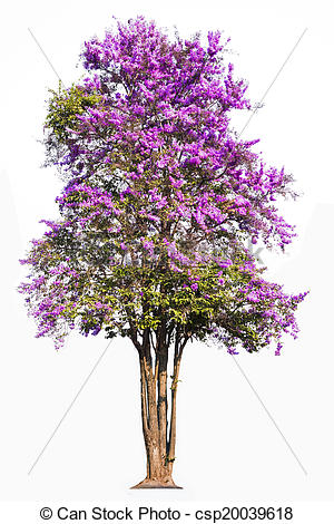 Stock Photography of Lagerstroemia floribunda, tropical tree in.