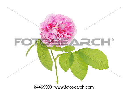 Stock Photograph of Floribunda rose k4469909.